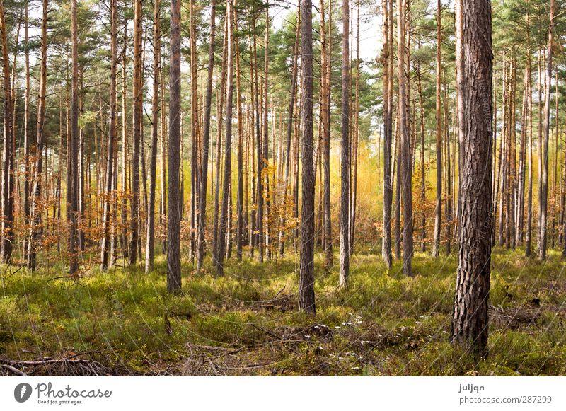Leuchtender Herbstwald Natur Pflanze Himmel Sonnenlicht Schönes Wetter Baum Moos Blatt Wald Wärme gold grün Stimmung Warmherzigkeit Vorsicht Idylle