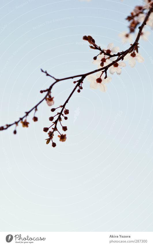 Tendenz steigend Umwelt Natur Pflanze Himmel Wolkenloser Himmel Frühling Baum Blüte Kirschblüten Kirschbaum Ast Blühend Wachstum ästhetisch Duft blau braun rosa