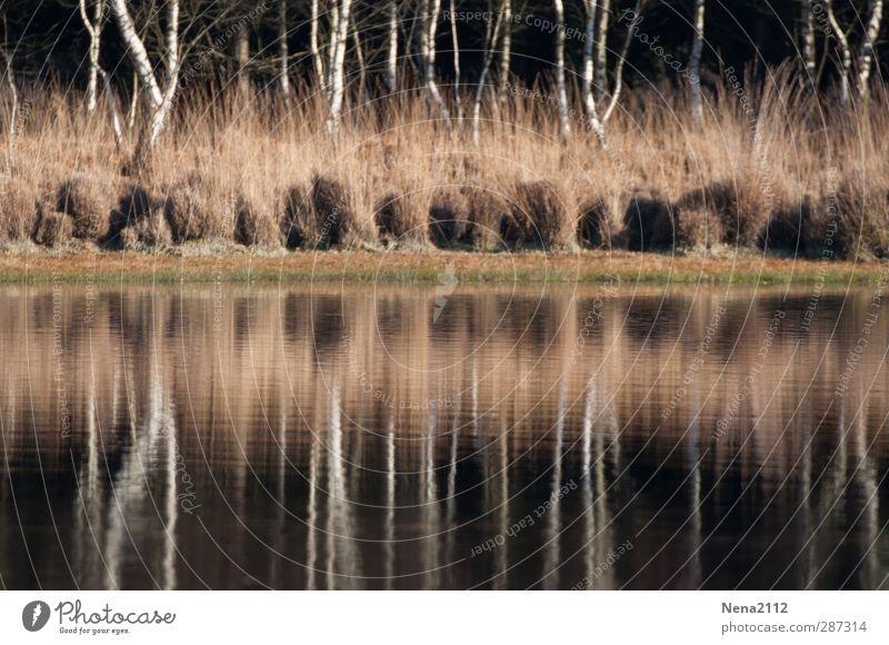 Birkenspiegel II Umwelt Natur Landschaft Wasser Herbst Winter Baum Sträucher Wiese Wald Seeufer Moor Teich Fluss Birkenwald Baumstamm Wasserspiegelung ruhig