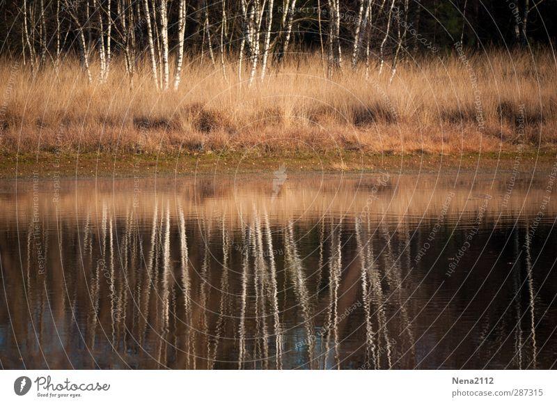 Birkenspiegel III Umwelt Natur Landschaft Wasser Herbst Winter Baum Sträucher Wiese Wald Seeufer Moor Teich Fluss Birkenwald Baumstamm Wasserspiegelung ruhig