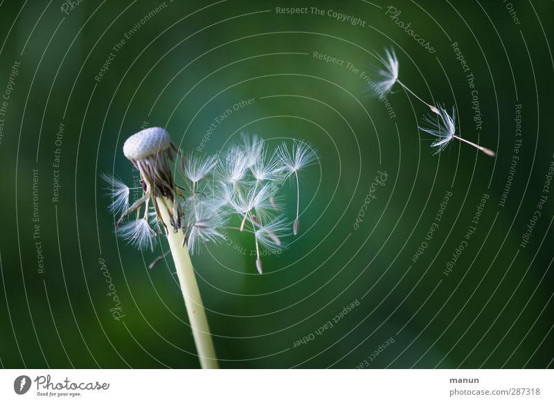 Happy Birthday Photocase! - Auf ein Neues! Natur Pflanze Umwelt natürlich fliegen Wachstum frei Beginn Wandel & Veränderung einfach Löwenzahn positiv nachhaltig Samen Leichtigkeit Fortschritt