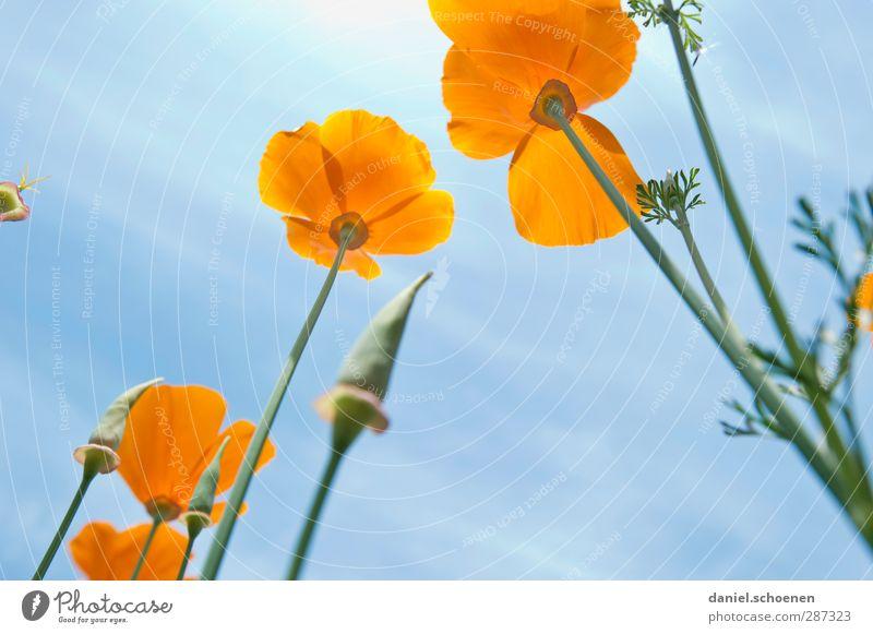 ...und noch ein paar Blümchen für photocase Natur blau Sommer Pflanze Wiese Blüte orange Schönes Wetter Mohn Islandmohn