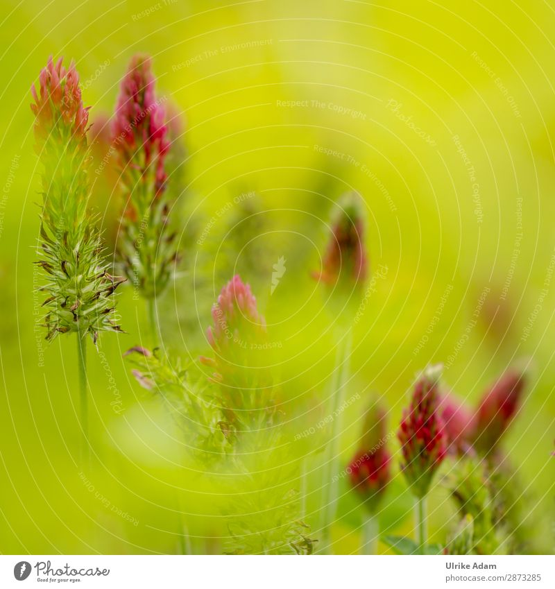 Kleeblüten - Natur Design schön Wellness harmonisch Spa Feste & Feiern Umwelt Pflanze Frühling Sommer Herbst Blüte Blühend leuchten hell saftig grün rot Farbe