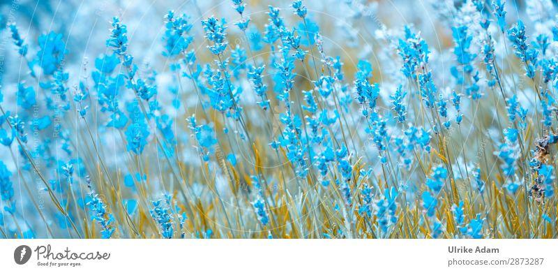 Lavendel in Blau elegant schön Alternativmedizin Wellness harmonisch Wohlgefühl Sinnesorgane Erholung Meditation Spa Valentinstag Muttertag Geburtstag Natur