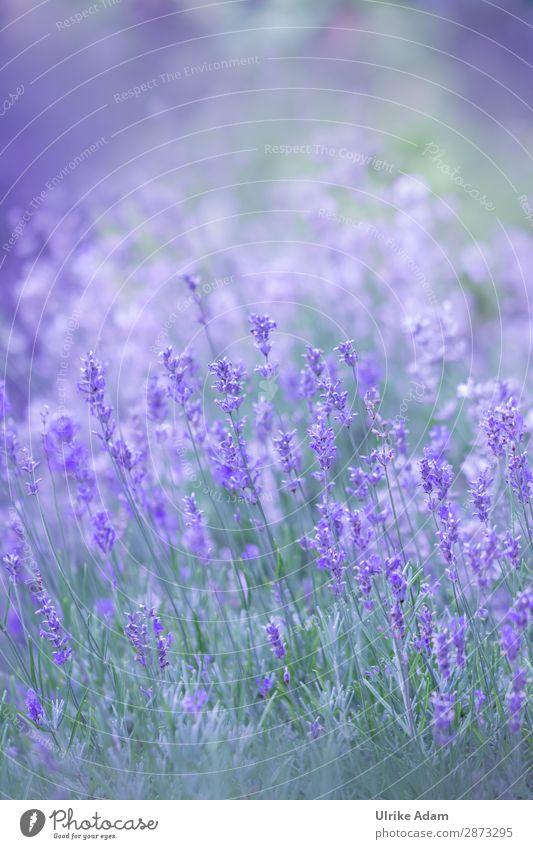 Lavendel im Feld Kräuter & Gewürze Alternativmedizin Wellness harmonisch Zufriedenheit Erholung ruhig Meditation Spa Dekoration & Verzierung Tapete Buchcover