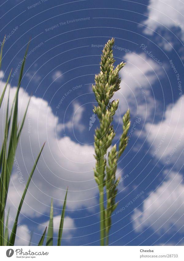 in the ähr Gras Ähren Wolken Wiese Frühling Pflanze Halm Himmel Natur