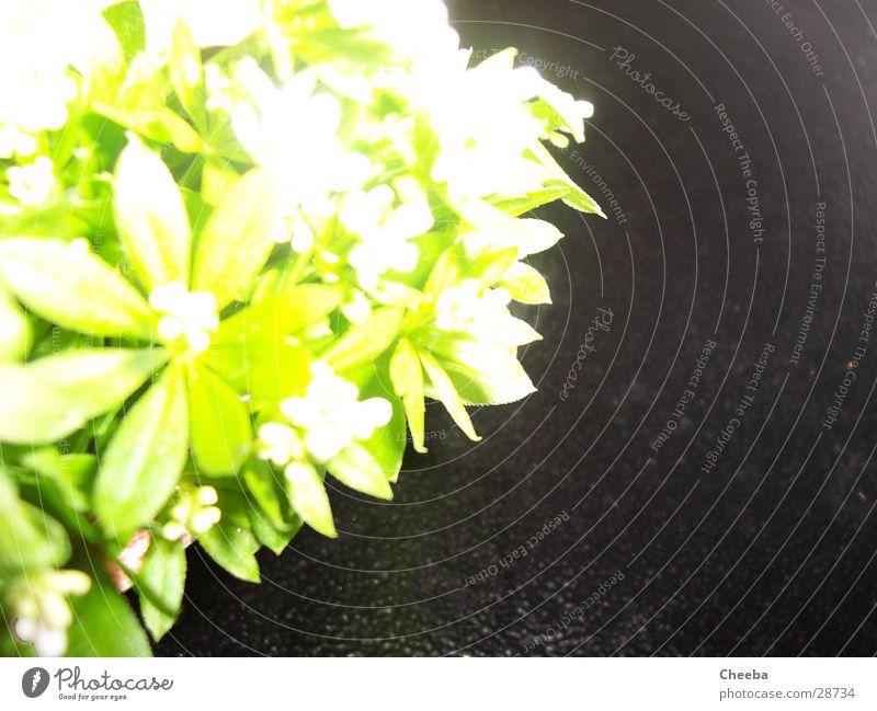Waldmeister grün Pflanze schwarz dunkel Überbelichtung