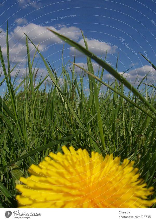 Finde den Grashüpfer! Blume Wiese Frühling grün gelb Wolken Löwenzahl Himmel blau Natur
