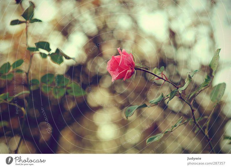 Herbstschönheit Umwelt Natur Pflanze Frühling Blume Rose Blüte Garten Park Blühend Wachstum ästhetisch Kitsch natürlich trist feminin grün rosa Gefühle Liebe