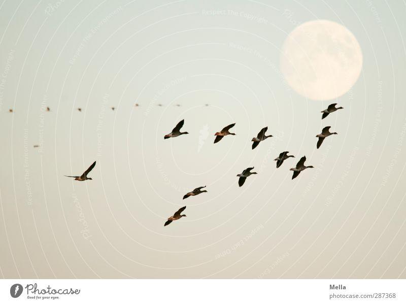 Happy Birthday, photocase! Umwelt Natur Tier Luft Mond Vollmond Wildtier Vogel Gans Wildgans Schwarm fliegen leuchten frei Zusammensein natürlich blau Freiheit