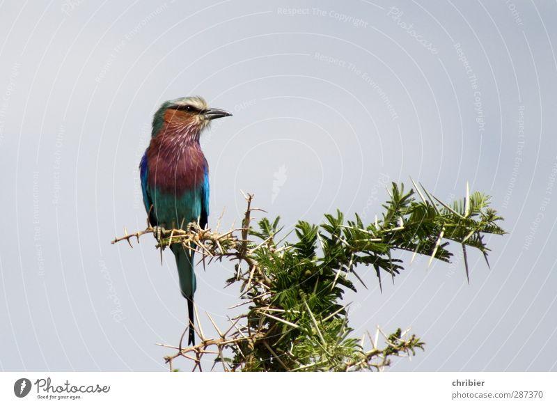 Happy Birdday, Photocase!!! Natur Pflanze Tier Wolkenloser Himmel Baum Akazie Dornenbusch Vogel Lilac-breastet Roller Schnabel Wappentier 1 beobachten fliegen