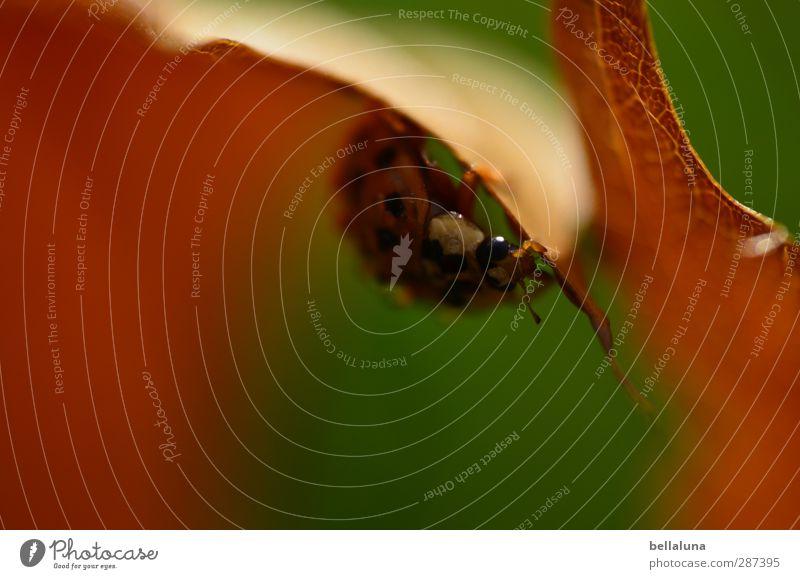 11 Jahre gut für die Augen! Umwelt Natur Pflanze Tier Wetter Schönes Wetter Gras Blatt Garten Park Wiese Wald Wildtier Käfer krabbeln sitzen braun grün rot