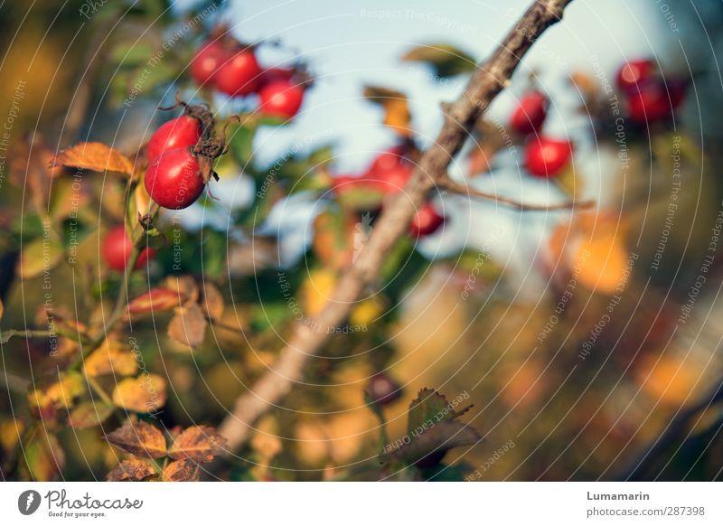 Happy Birthday Photocase! | jahreszeitlich Umwelt Natur Herbst Pflanze Sträucher Hagebutten Gesundheit schön natürlich trocken Wärme wild rot Frucht prächtig