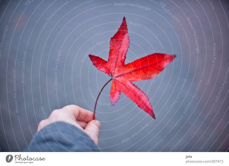red leaf Hand Finger Natur Herbst Blatt Wildpflanze ästhetisch natürlich grau rot Ahornblatt Farbfoto Außenaufnahme Textfreiraum links Hintergrund neutral Tag