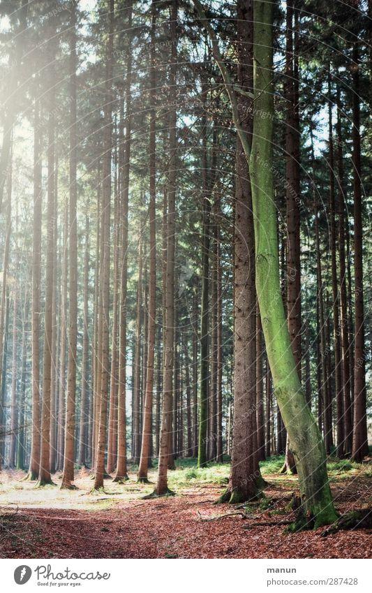 Wald Landwirtschaft Forstwirtschaft Natur Landschaft Frühling Herbst Schönes Wetter Baum Nadelwald natürlich Umweltschutz Farbfoto Gedeckte Farben Menschenleer