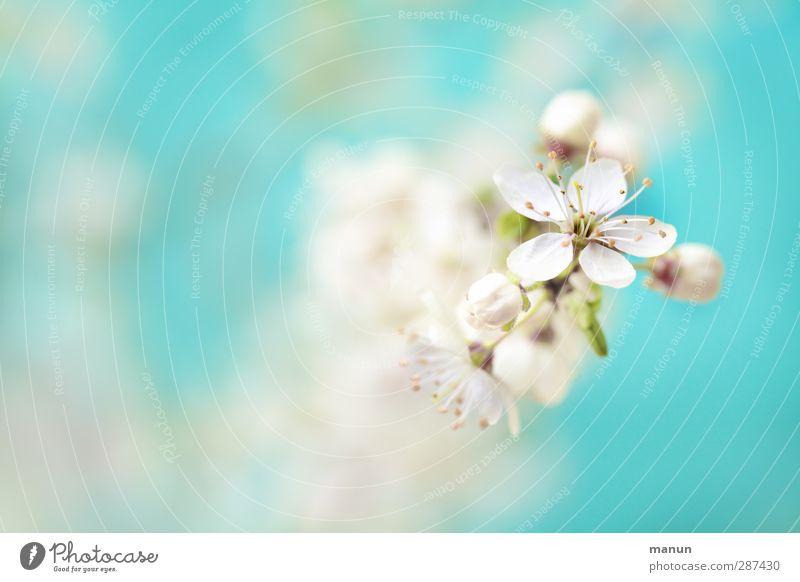 blaublütig Natur schön weiß Pflanze Baum Frühling Blüte hell natürlich frisch Fröhlichkeit Blühend fantastisch positiv Kirschblüten