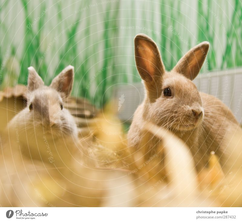 Herr und Frau Hasi Tier Haustier Fell Hase & Kaninchen 2 Tierpaar Fressen hören Blick Freundlichkeit Zusammensein kuschlig Neugier niedlich Frühlingsgefühle