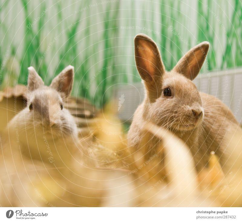 Herr und Frau Hasi Tier Zusammensein Tierpaar niedlich Freundlichkeit Neugier Fell hören Wachsamkeit Haustier Geruch Fressen Hase & Kaninchen kuschlig
