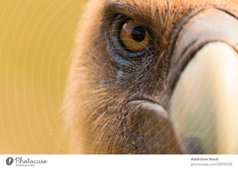 Auge und Schnabel des Geiers Adler Wut Makroaufnahme Vogel Natur wild Tier Tierwelt Feder Bussard Blick Tragfläche Raubtier Geschwindigkeit Kopf Raptor