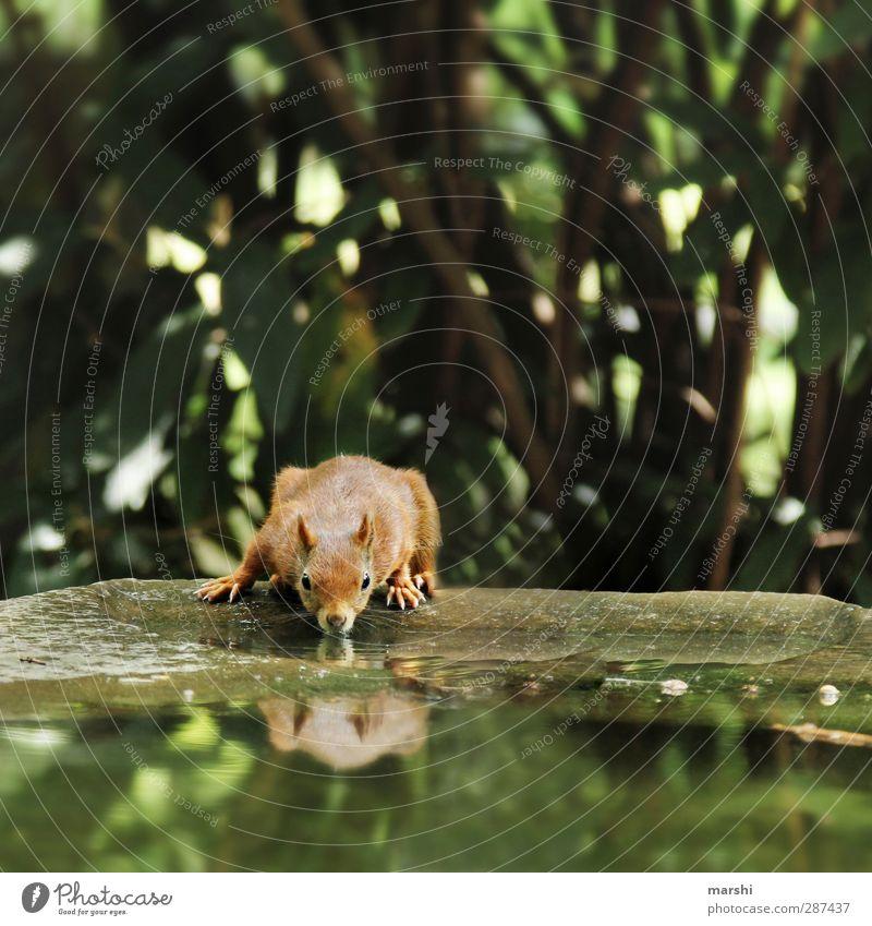 durstiges Hörnchen Natur Pflanze schön grün Wasser Baum Tier klein braun Park Wildtier Fell Eichhörnchen Lebensmittel
