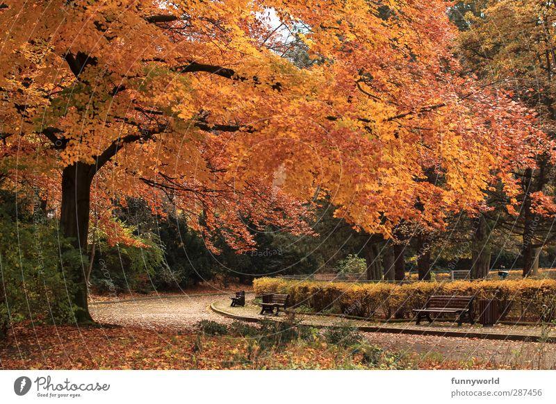Richtig, Herbst. alt Pflanze Baum rot Blatt Einsamkeit ruhig Erholung gelb Senior Stimmung Park gehen orange gold