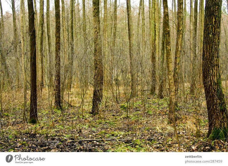 Wald Natur Landschaft Pflanze Herbst Winter Klima Klimawandel Wetter schlechtes Wetter Baum Nutzpflanze Ausdauer Laubwald Baumstamm luch Brandenburg Spazierweg