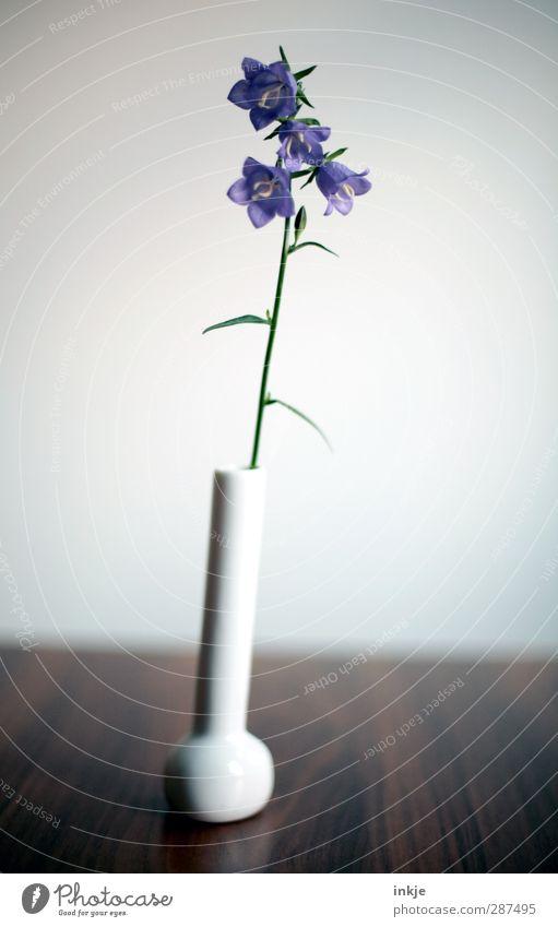 Glockenblümchen, schlicht Dekoration & Verzierung Tisch Blume Blüte Glockenblume Vase Blumenvase Blühend stehen dünn einfach klein lang natürlich schön blau