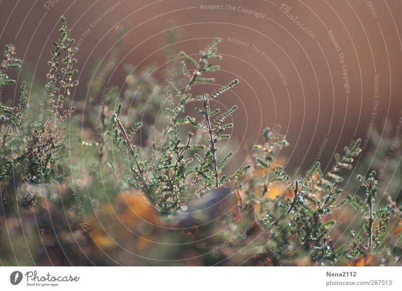 Heidekraut Natur grün Pflanze Landschaft gelb Umwelt Wiese Herbst Gras klein braun Sträucher Wildpflanze Heidekrautgewächse