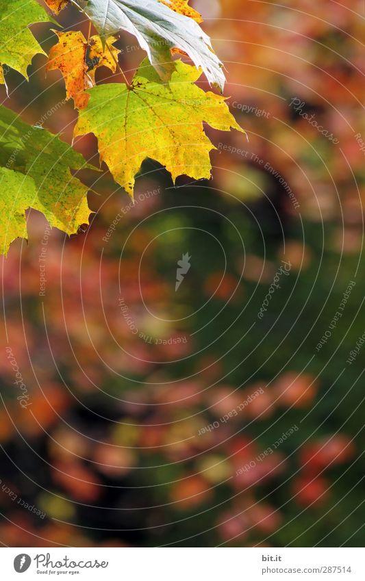 Herbstmünz Natur Pflanze Erde Schönes Wetter Grünpflanze mehrfarbig gelb gold grün rot Herbstlaub herbstlich Herbstfärbung Indian Summer dehydrieren Unschärfe