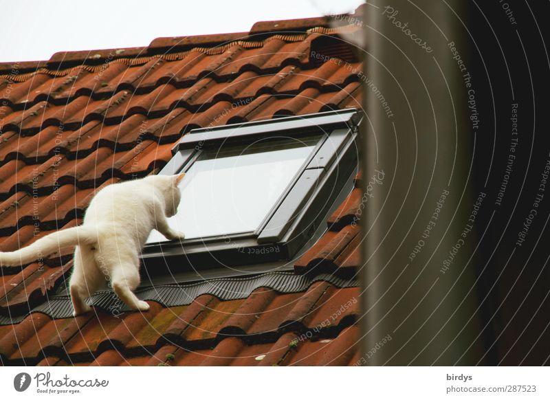 Eine weiße Katze schaut neugierig von außen durch ein Dachfenster . Lustige Pose. Voyeurismus 1 Tier beobachten außergewöhnlich frech lustig oben Neugier