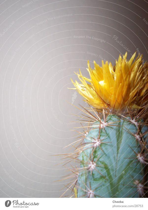 Kaktus rechts außen Blüte gelb Pflanze grün Hälfte Blume Stachel Spitze