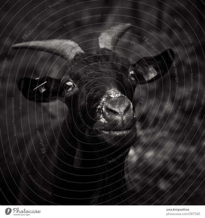dunkle seite Natur Tier Nutztier Tiergesicht Fell Ziegen Horn 1 beobachten dunkel frech natürlich rebellisch wild Schwarzweißfoto Außenaufnahme Menschenleer