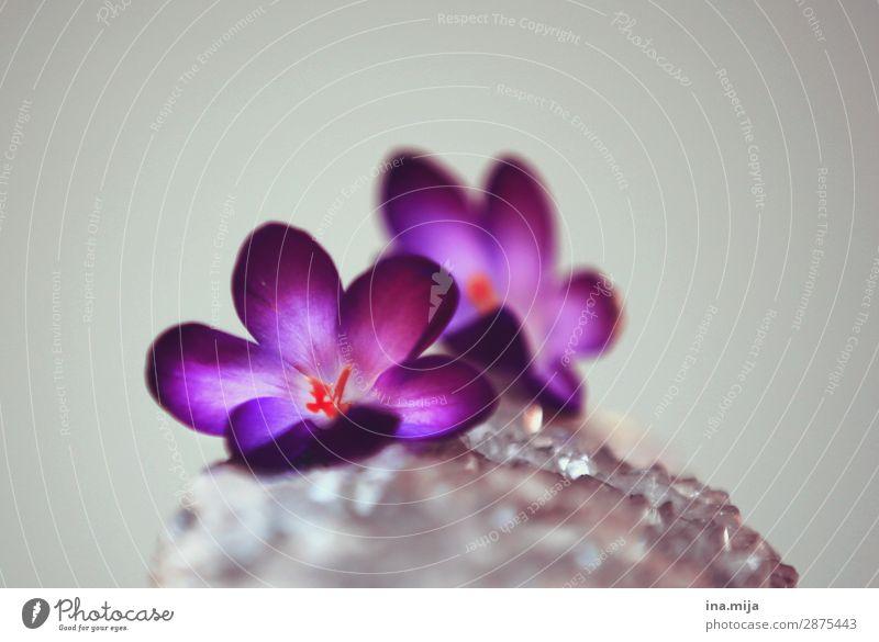 Krokusse Frühling Pflanze Blume Blüte Natur Optimismus Wachstum Wandel & Veränderung Farbfoto mehrfarbig Innenaufnahme Studioaufnahme Nahaufnahme Detailaufnahme