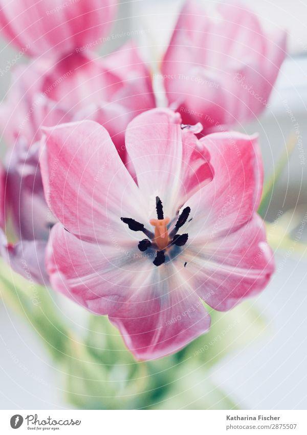 Tulpengruss fürs Wochende Natur Pflanze Blume Blatt Blüte Blumenstrauß Blühend leuchten schön grün rosa weiß Blütenstempel Blütenknospen Blütenblatt malerisch