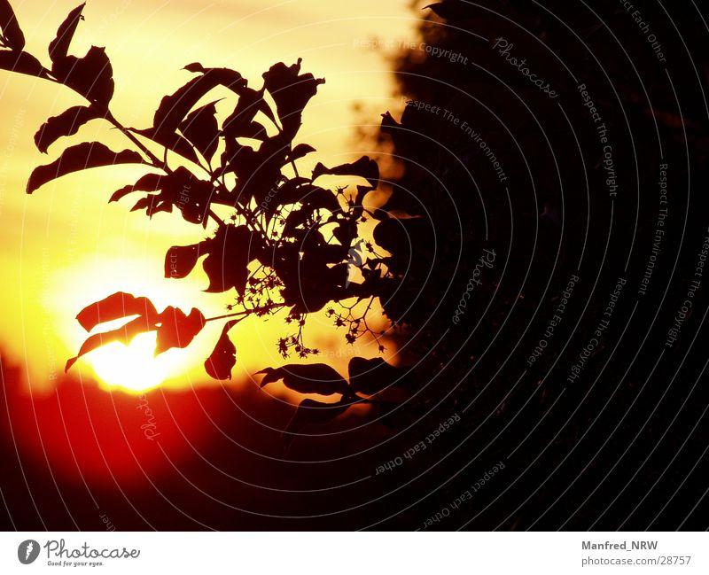 Die Sonne geht unter Baum Sonne rot schwarz Ast