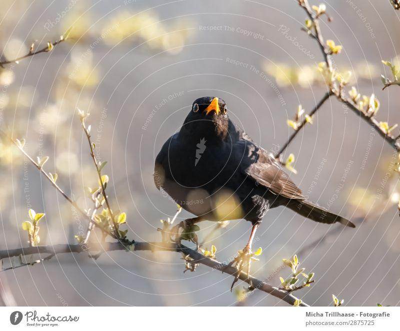 Skeptischer Blick, Amsel Himmel Natur Baum Tier Blatt schwarz gelb Auge natürlich orange Vogel leuchten glänzend Wildtier stehen Feder