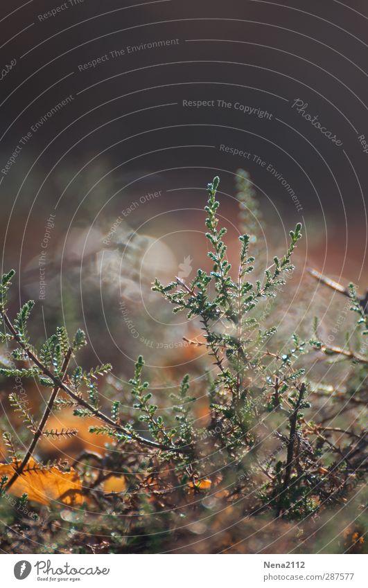 Heidekraut vs. Herbst Natur grün Pflanze Blatt Landschaft gelb Umwelt Wiese Gras klein braun Sträucher Wildpflanze Heidekrautgewächse