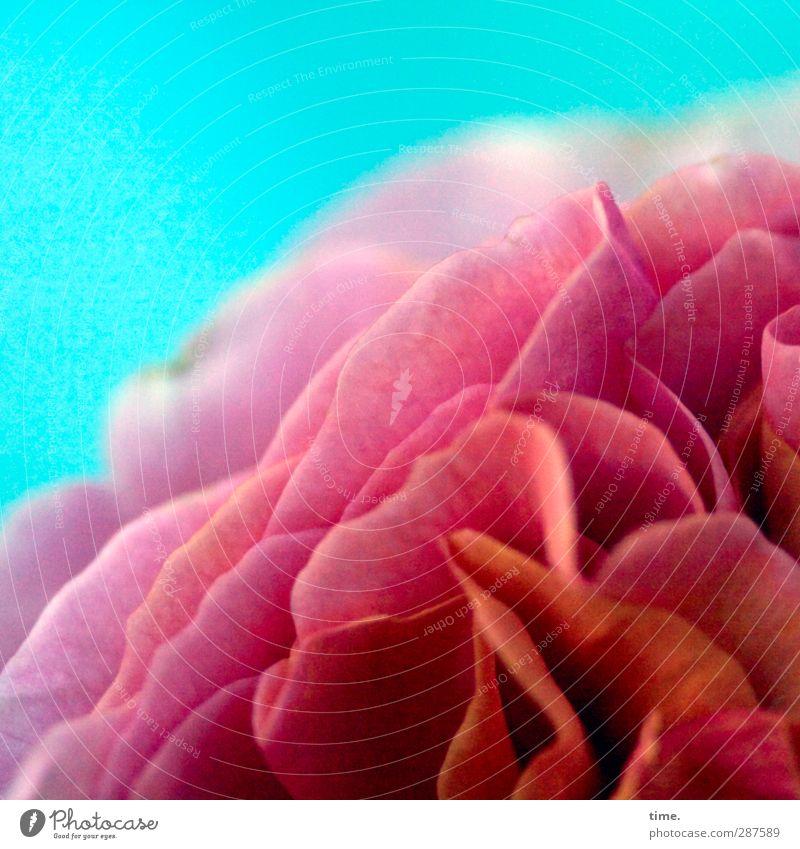 la dolce vita Pflanze Blüte natürlich rosa rot üppig (Wuchs) Farbfoto Innenaufnahme Nahaufnahme Detailaufnahme Menschenleer Textfreiraum oben Unschärfe