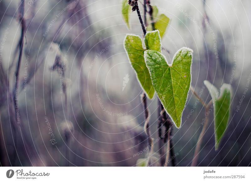 Liebe zur Natur Natur grün Pflanze Blatt Winter Umwelt Liebe kalt Herbst grau 2 Herz Frost gefroren Grünpflanze Raureif