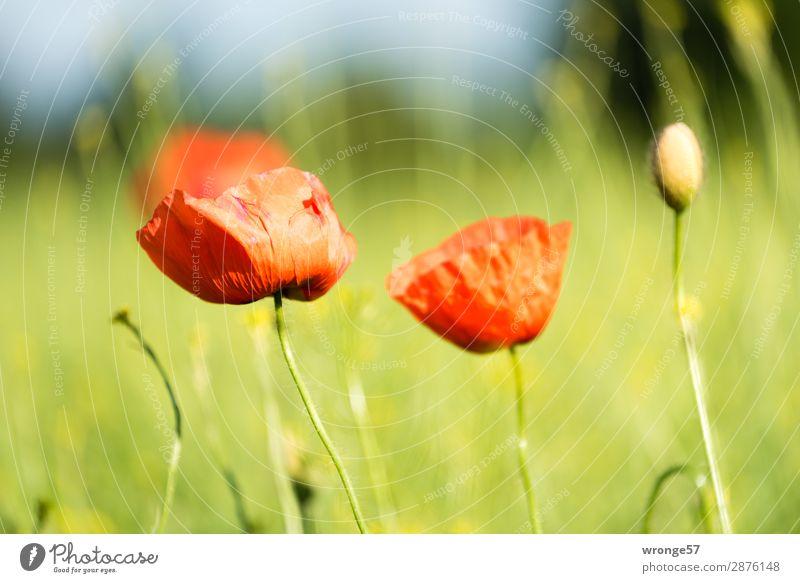 Noch mehr Mohn am Dienstag Natur Sommer Pflanze grün rot Frühling grau Feld Schönes Wetter Nutzpflanze Wildpflanze Feldrand Querformat Mohnblüte