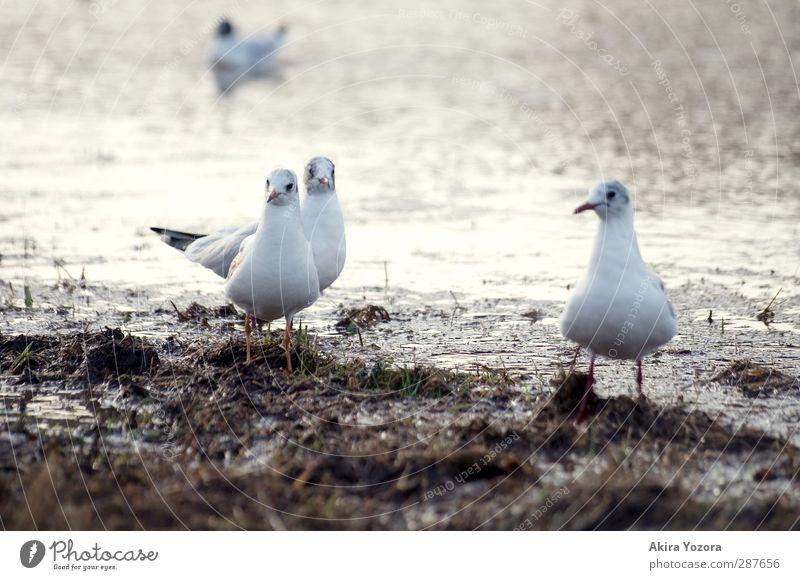 Nur mal gucken. Natur Flussufer Tier Wildtier Vogel Möwe Möwenvögel 4 beobachten stehen warten Zusammensein Neugier braun grau weiß Wachsamkeit Zusammenhalt