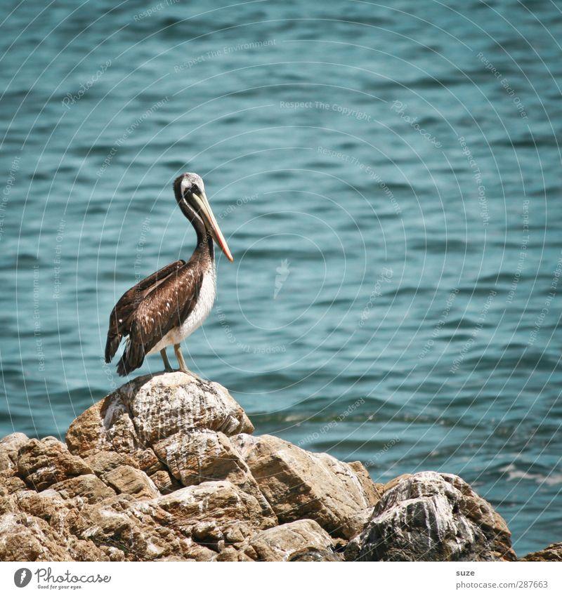 Fischers Fritze Umwelt Natur Tier Urelemente Wasser Sommer Klima Schönes Wetter Felsen Küste Meer Wildtier Vogel 1 schön blau Pelikan Wasseroberfläche