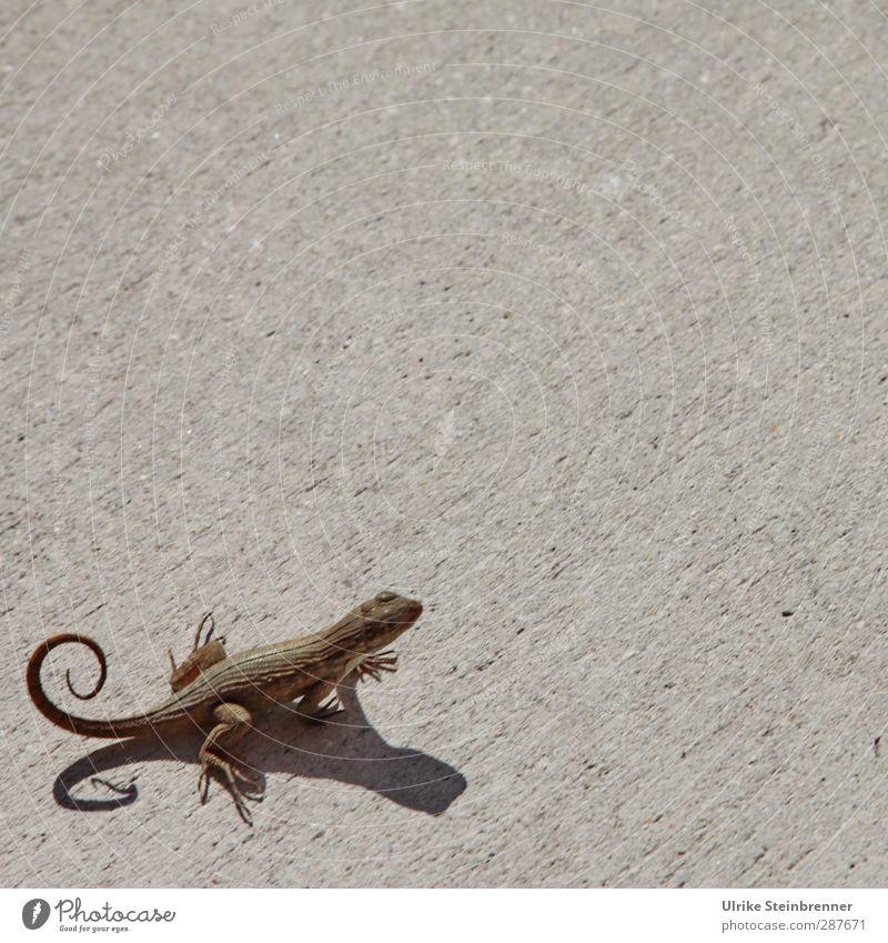 Kringelmonster² Tier Wildtier Echte Eidechsen Echsen Reptil 1 beobachten hocken schaukeln Neugier niedlich rund braun Lacertidae Sonnenbad Tierfuß Schwanz