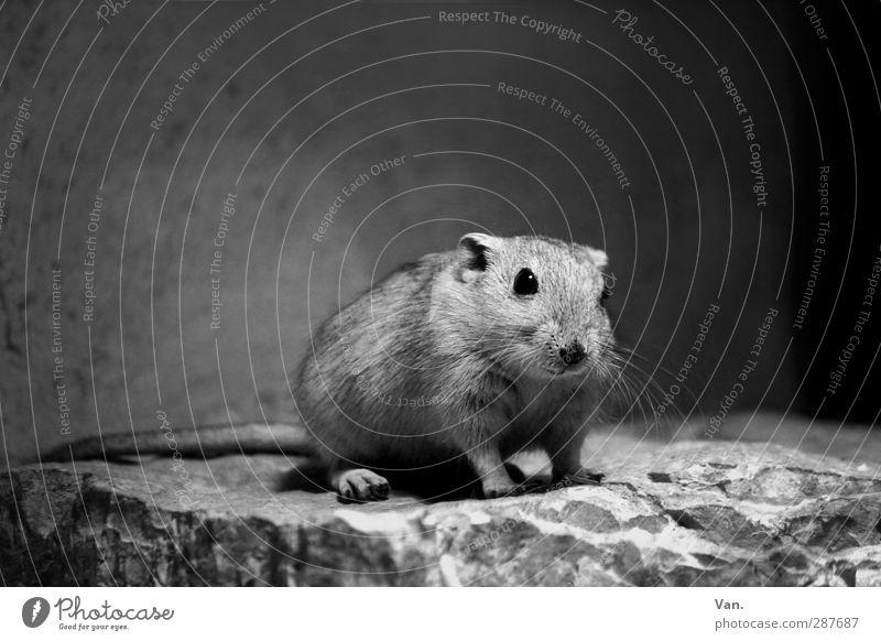 Ich war's nicht Natur Tier Felsen Wildtier Nagetiere Maus 1 Stein klein niedlich Schwarzweißfoto Innenaufnahme Textfreiraum oben Tag Kunstlicht Tierporträt