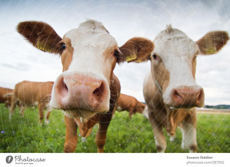 **2** Glückwunsch, Frank!! Feld Nutztier Kuh Tier Tiergruppe Herde stehen muhen Kuhschelle braun Weide sommerlich Wiese direkt nah Paar Körperhaltung mehrfarbig