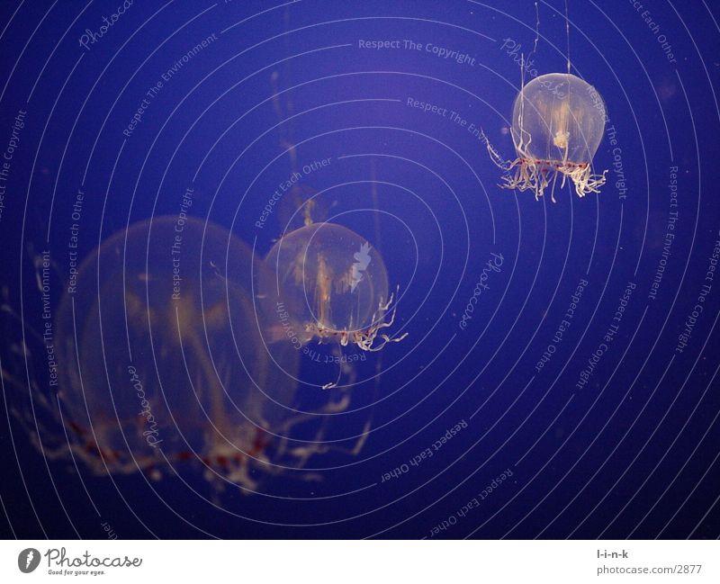 Quallen I blau Makroaufnahme Qualle Tier Unterwasseraufnahme