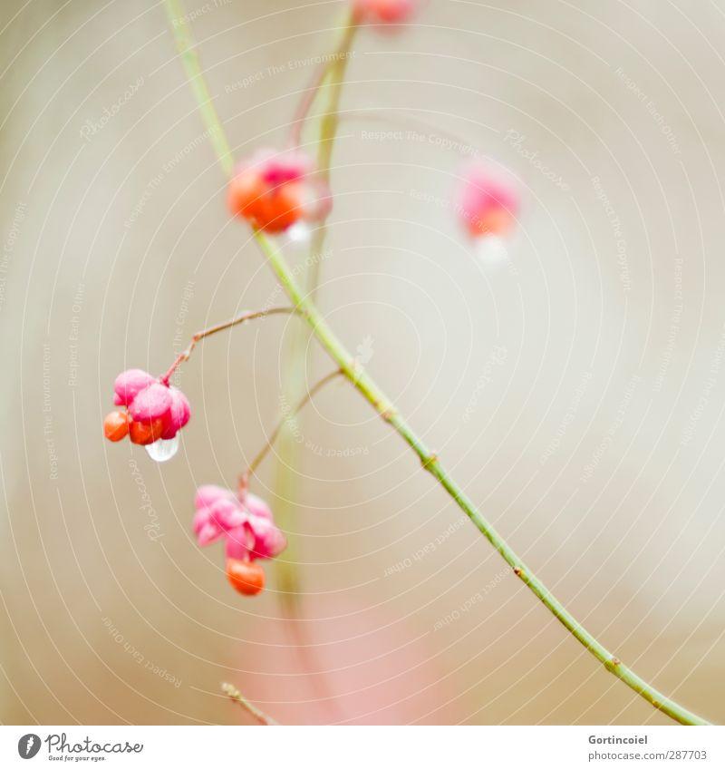 Tropfen Natur schön Pflanze Winter Blüte orange rosa Sträucher Wassertropfen Blühend Pfaffenhütchen