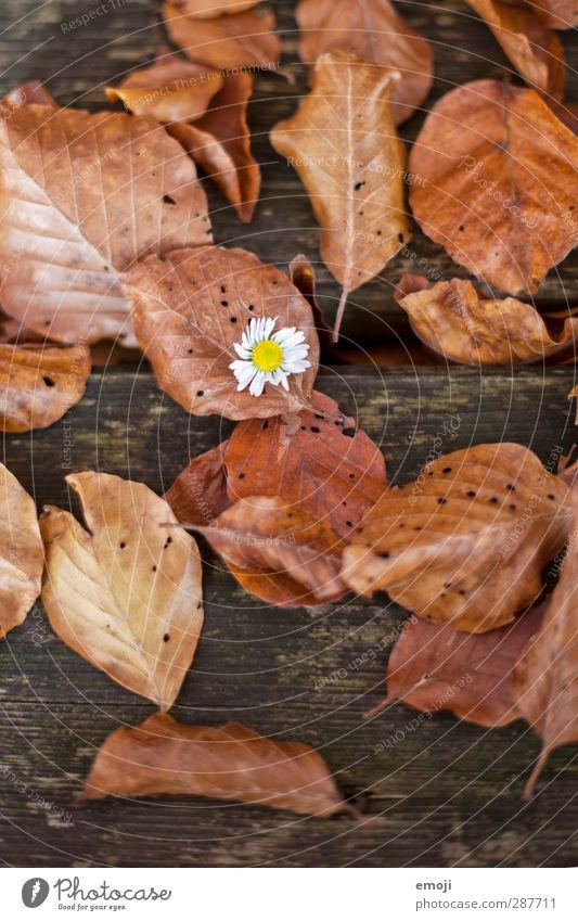 auffallend Natur Pflanze Blume Blatt Umwelt Herbst Holz braun natürlich Gänseblümchen