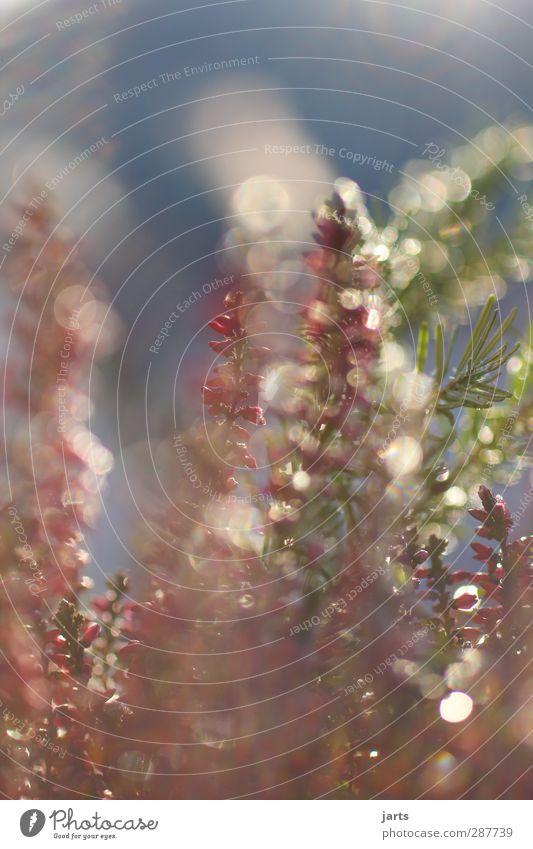 farbig Herbst Winter Schönes Wetter Blume Garten frisch glänzend natürlich grün rot Natur Tannenzweig Farbfoto Außenaufnahme Nahaufnahme Menschenleer
