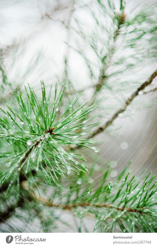 Waldkiefer Natur Winter Regen Pflanze Baum nass grün Wald-Kiefer Nadelbaum Wassertropfen Tannennadel Farbfoto Außenaufnahme Textfreiraum oben